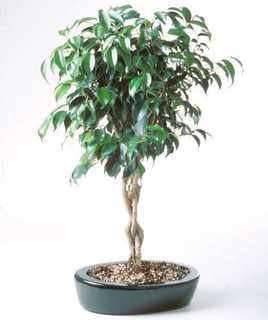 Ficus, Green Braided Bonsai