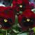 Pansies: Viola Wittrockiana, 'Mammoth™ Big Red'