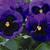 Pansies: Viola Wittrockiana, 'Mammoth™ Blue Ti Ful'