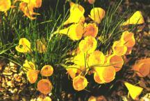 Daffodil, Wild Yellow Hoop Petticoat ADS Miniature