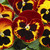 Pansies: Viola Wittrockiana, 'Mammoth™ On Fire'