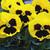 Pansies: Viola Wittrockiana, 'Mammoth™ Queen Yellow Bee'