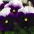 Pansies: Viola Wittrockiana, 'Mariposa™ Beaconsfield'