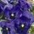 Pansies: Viola Wittrockiana, 'Mariposa™ Blue Blotch'