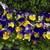 Pansies: Viola Wittrockiana, 'Mariposa™ Blue Over Yellow'
