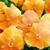 Pansies: Viola Wittrockiana, 'Mariposa™ Orange'