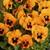Pansies: Viola Wittrockiana, 'Mariposa™ Orange Blotch'