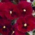 Pansies: Viola Wittrockiana, 'Mariposa™ Red Blotch'