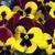 Pansies: Viola Wittrockiana, 'Mariposa™ Red Wing'