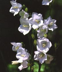 Bellflower, White Peach-Leafed