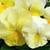 Pansies: Viola Wittrockiana, 'Mariposa™ Rose Blotch'