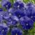 Pansies: Viola Wittrockiana, 'Mariposa™ True Blue'