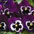 Pansies: Viola Wittrockiana, 'Mariposa™ Violet With Face'