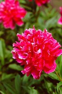 Peony, Double 'Henry St. Clair' (Brand 1941)