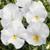 Pansies: Viola Wittrockiana, 'Mariposa™ White'