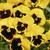Pansies: Viola Wittrockiana, 'Mariposa™ Yellow Blotch'