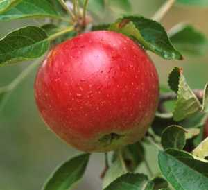 Apple Tree, Compspur 'Red Stayman Winesap'