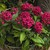 Annuals_pentas_lanceolata_starla_tm_deep_rose-1.small
