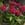 Pentas: Pentas Lanceolata, 'Starla™ Deep Rose'