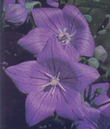 Balloon Flower, 'Mariesii Blue'