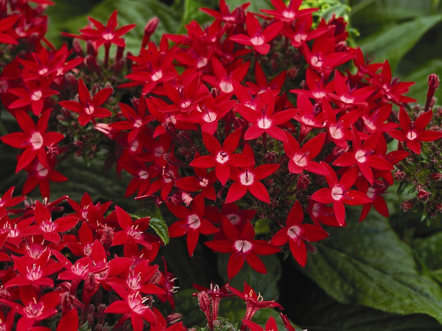 Annuals_pentas_lanceolata_starla_tm_red-1.full