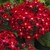 Pentas: Pentas Lanceolata, 'Starla™ Red'