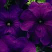 Petunia, Storm™ Blue