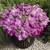 Petunias: Petunia Grandiflora, 'Storm™ Lavender'
