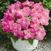Petunia, Storm™ Pink