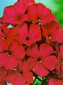 Phlox, Garden 'Starfire'