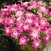 Petunia, Storm™ Pink Morn