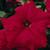 Petunias: Petunia Grandiflora, 'Storm™ Red'