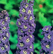 Delphinium, Pacific Giant Hybrid 'Blue Bird'