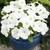 Petunias: Petunia Grandiflora, 'Storm™ White'