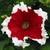 Petunias: Petunia Grandiflora, 'Frost™ Fire'