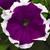 Petunias: Petunia Grandiflora, 'Frost™ Velvet'