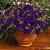 Petunias: Petunia Milliflora, 'Picobella™ Blue'
