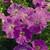 Petunias: Petunia Milliflora, 'Picobella™ Light Lavender'