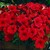 Petunias: Petunia Milliflora, 'Picobella™ Red'
