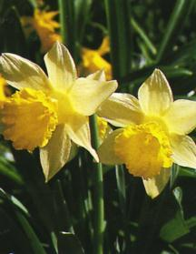Daffodil, ADS Miniature Trumpet 'Little Beauty'