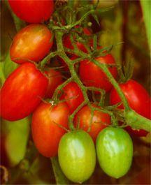 Tomato, Juliet Hybrid