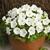 Petunias: Petunia Milliflora, 'Picobella™ White'