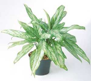 Chinese Evergreen, 'Silver Queen'