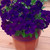 Petunias: Petunia Multiflora, 'Primetime™ Blue'