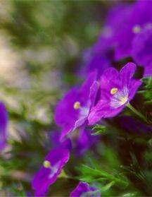 Cupflower, 'Purple Robe'