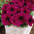 Petunias: Petunia Multiflora, 'Primetime™ Burgundy'