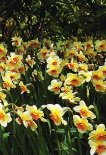 Daffodils_and_narcissus_narcissus_x_barret_browning-1.full