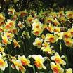 Daffodil, Small-cupped 'Barret Browning'