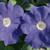 Petunias: Petunia Multiflora, 'Primetime™ Mid Blue'