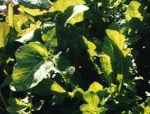 Greens_and_lettuce_eruca_vesicaria-1.full